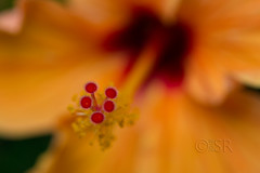 Yellow Hibiscus Stamen