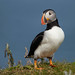 Mr. Puffin by NicoleW0000