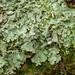 Lichen sp. - Flavoparmelia caperata