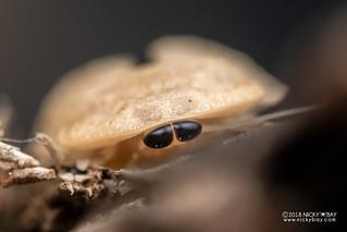 Cockroach (Derocalymma sp.) - DSC_2813