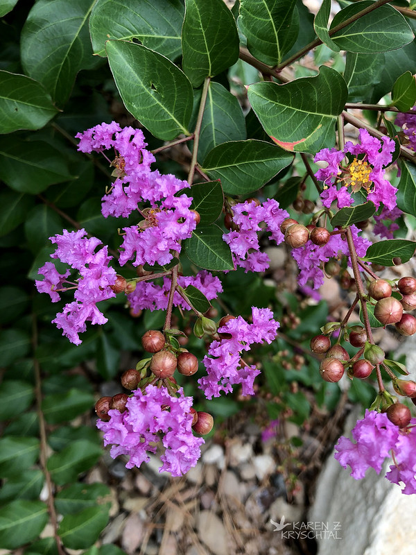 IMG_2109CrapeMyrtle