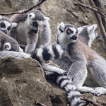 Lemur Huddle