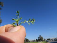 Cotula turbinata leaf NC1
