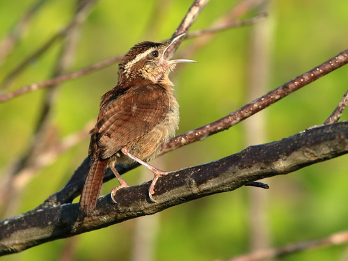 Carolina Wren female singing duet 05-20180812