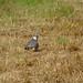 Woodpigeon in a field, 2018 Jul 19