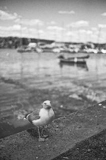 Breton Seagull - Gaviota bretona
