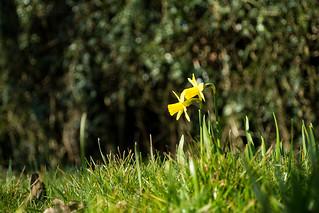 20180326-09_Daffodils - Cawston Rugby