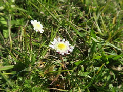 Cotula turbinata flowerhead NC9