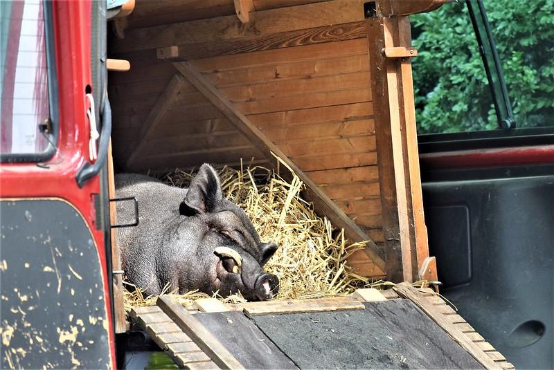 Sleeping Pig Circus Knie 06.08.2018