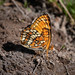 Hoffman's Checkerspot 20180712_6879 by GORGEous nature