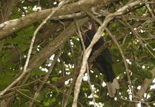 Black-casqued wattled hornbill female, Loango National Park, Gabon