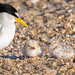 Least Tern - Sternula antillarum | 2018 - 7