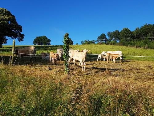 Beaucoup de veaux à la ferme de Camblat