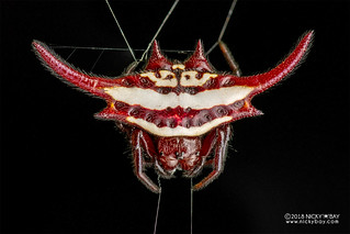 Spiny kite orb weaver (Gasteracantha falcicornis) - DSC_3788