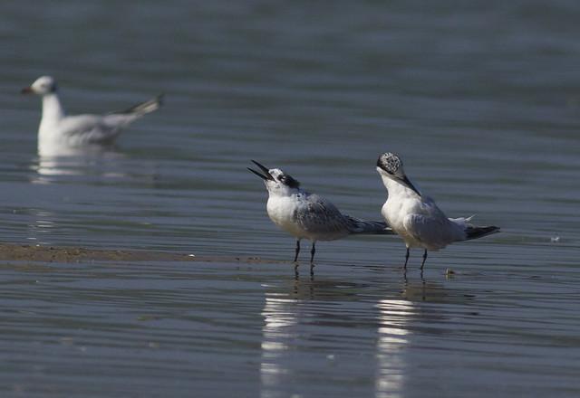 Ejemplares a mediados de verano en la Bahía de Santander. Autor: Javier Aizcorbe