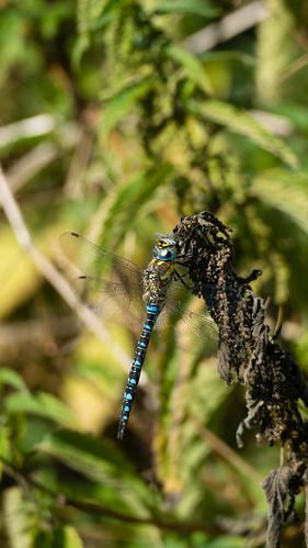 Hairy dragonfly resting on nettle flower