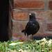 Blackbird, 2018 Jul 12 -- photo 3