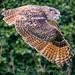 Eagle Owl In Flight (2)