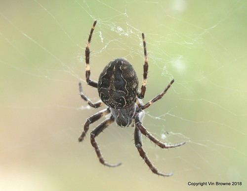 Bridge Orbweb Spider ; Larinioides sclopetarius