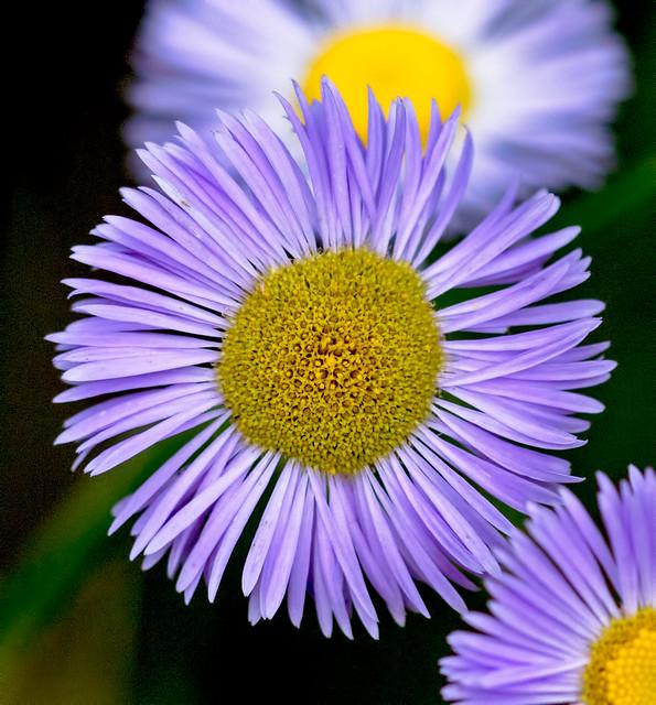 Wild-Flower-11-7D1-073118