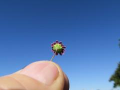 Cotula turbinata flowerhead NC7