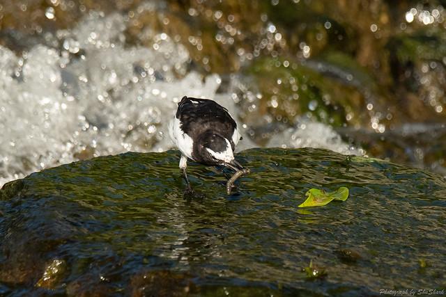20180811-kingfisher-DSC_7208