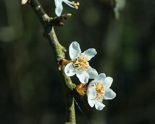 20180326-16b_Spring Flowers (Blackthorn I think)