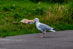 Gull having a Bag of Crisps for its dinner while Dolphin Spotting