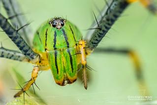 Green lynx spider (Peucetia madagascariensis) - DSC_7254