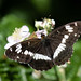 White admiral m (Shapwick Heath)