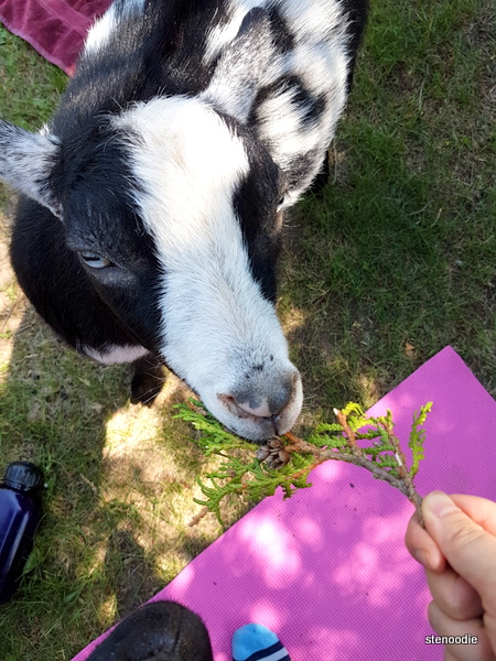 goats eat cedar trees