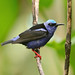 Young male Red-legged Honeycreeper --- Cyanerpes cyaneus by creaturesnapper
