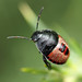 Gorse shieldbug (early instar nymph)