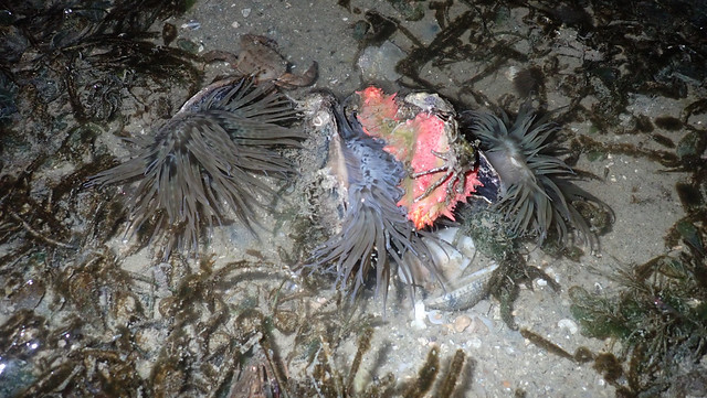 Various marine life with Swimming anemones (Boloceroides mcmurrichi)