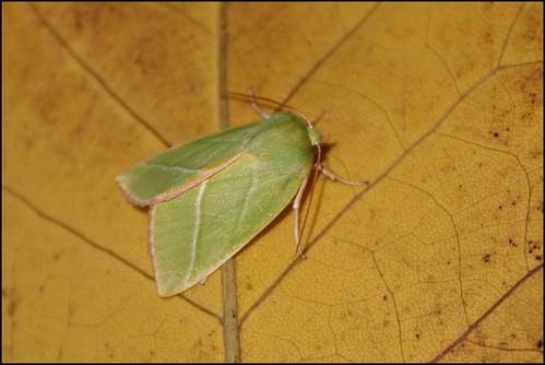Traça (Pseudoips prasinana) - Green Silver-lines Moth