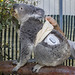 Koala with Diabetes at San Diego Zoo Receives Help From New Technology