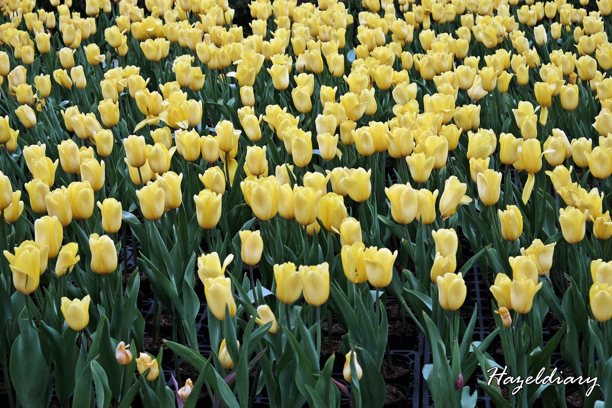Zhong She Guan Guang Flower Market Taichung Taiwan-Tulip-2