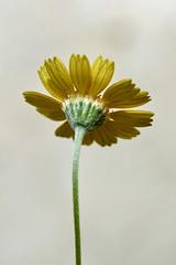 four nerve daisy