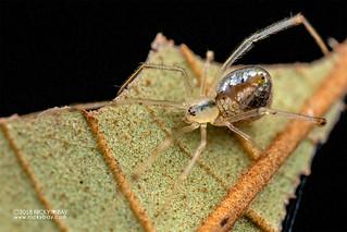 Mirror spider (Thwaitesia sp.) - DSC_7779