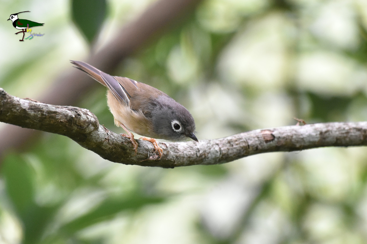 Gray-cheeked_Fulvetta_2266