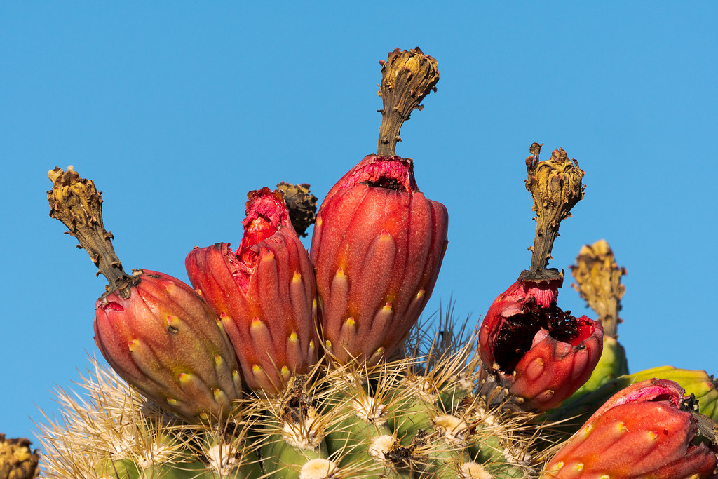 Red saguaro fruit along the Upper Ranch Trail in McDowell Sonoran Preserve in Scottsdale, Arizona