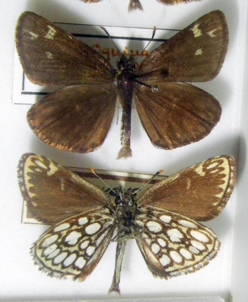 Heteropterus morpheus 44034742871_a9df6d74d7_o