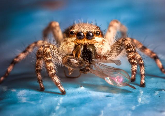 Bridge jumping spider, RICOH PENTAX K-70, smc PENTAX-D FA Macro 100mm F2.8 WR