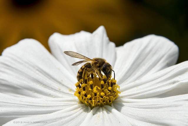 Wasp - wesp