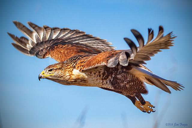 Ferruginous Hawk (Buteo regalis) at the Raptor Free-flight Show in the Arizona-Sonora Desert Museum