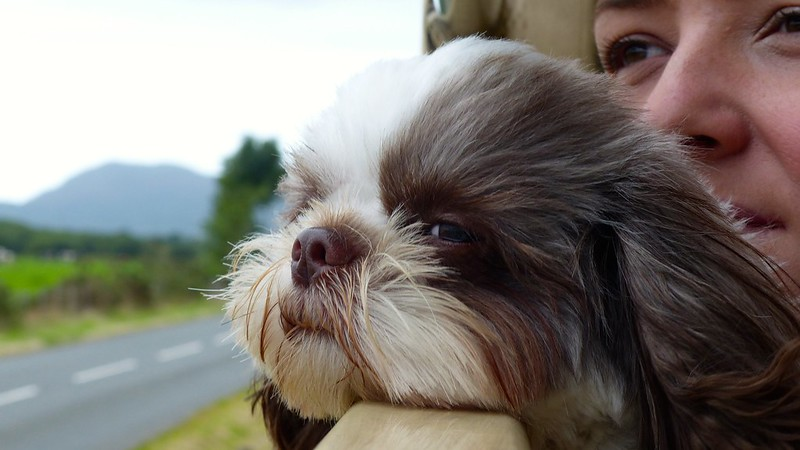 This is a picture of a shih tzu on a train