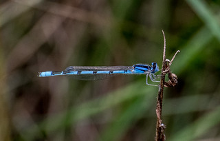 Damselfly | by Stephen Downes