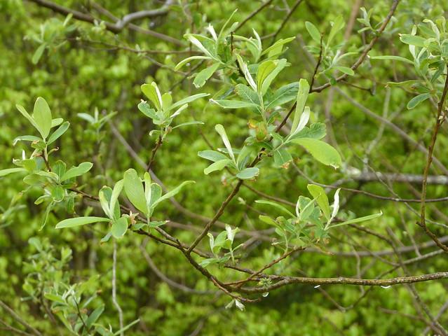 Salix salviifolia Brot. 1804 (SALICACEAE).