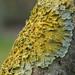 Lichen sp. - Xanthoria parietina