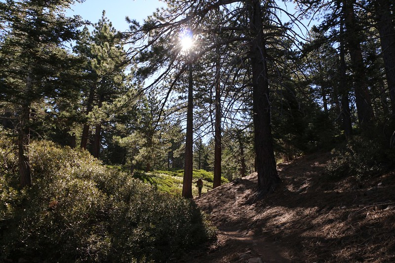 Morning light in the tall pine forest on the San Bernardino Peak Trail